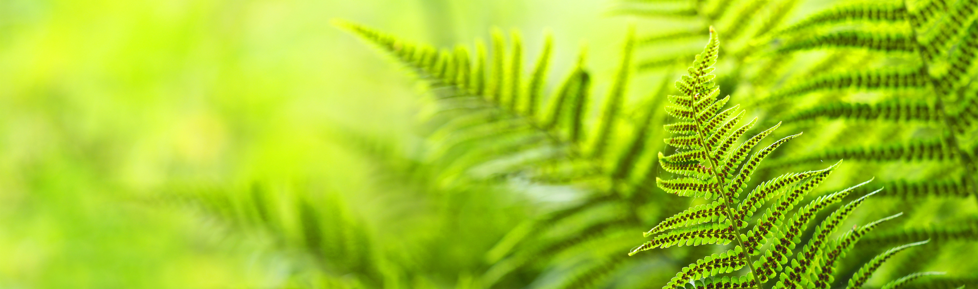 Beautiful ferns leaves, green foliage natural, floral fern background. Polypodiophyta, panoramic view, sunlight